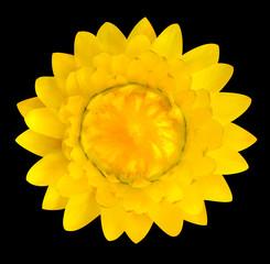 Yellow Strawflower, Helichrysum bracteatum Isolated on Black