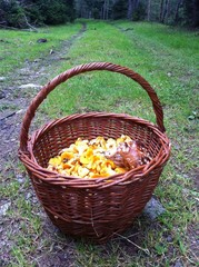 Basket Filled With Chanterelles