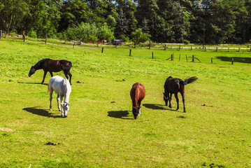 Horses Grazing in the Foothills
