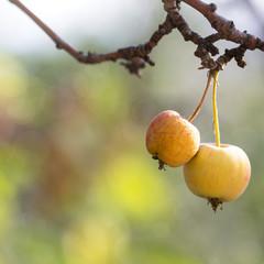 sunny wild apples on the tree