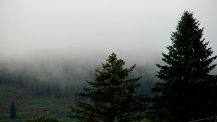 Mist in coniferous forest in the evening