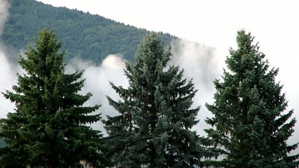 Three coniferous trees and fog in the evening