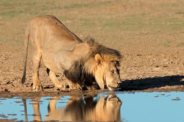 African lion drinking water, Kalahari desert
