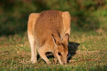 Agile Wallaby, Kakadu National Park