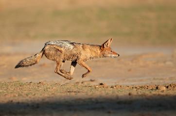 Black-backed Jackal running, Kalahari desert