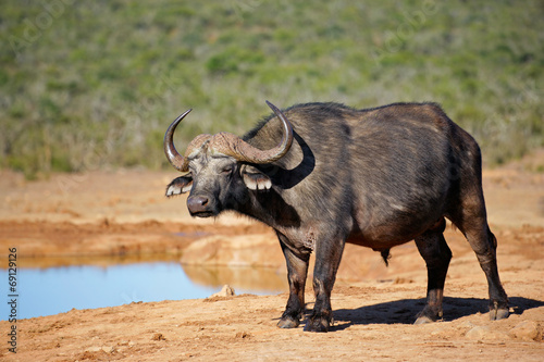 Aluminium Buffel African buffalo at a waterhole