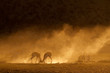 Springbok in dust at sunrise, Kalahari desert
