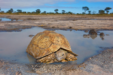 Leopard tortoise at a waterhole