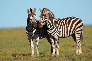 A pair pf plains Zebras