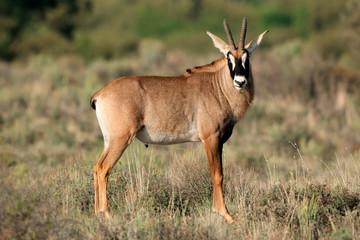 A rare roan antelope