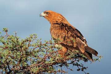 Tawny eagle perched on a tree, Kalahari desert
