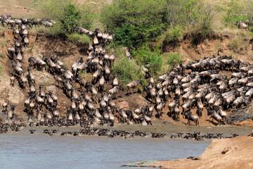 Wildebeest migration, Mara river, Masai Mara