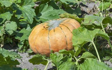 big pumpkin in the garden