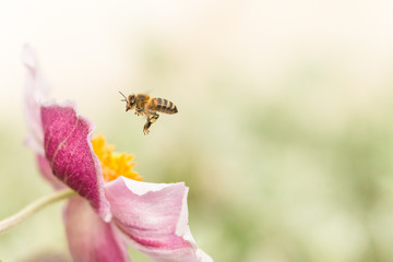 japanese anemone flower and hoverfly