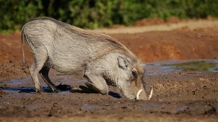 A warthog drinking water