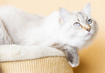 snowy cat of siberian breed