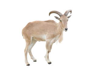 female Barbary sheep (Ammotragus lervia)