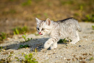Gray kitten on a gray sand in the grass
