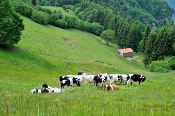 mandria di mucche