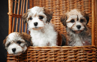 Bichon havanese puppies