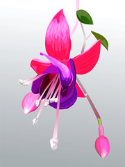 vector flower fuchsia