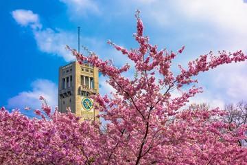 Deutsches Museum in München mit japanischer Kirschblüte