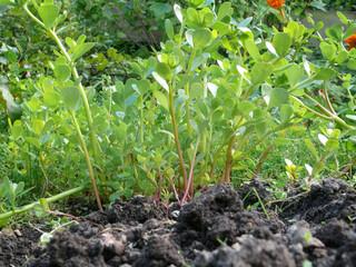 Gemüse-Portulak