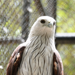 Beautiful Brahminy Kite in public zoo, Thailand.