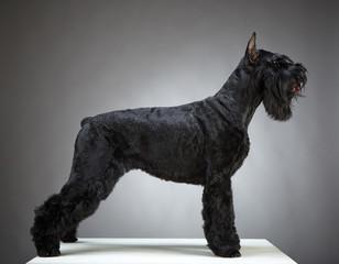 Black Giant Schnauzer dog