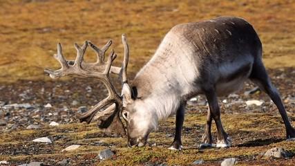 Wild Arctic reindeer in natural habitat