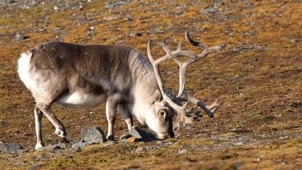 Wild reindeer in Arctic tundra - Spitsbergen, Svalbard