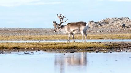 Wild Arctic reindeer in natural environment