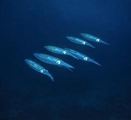Caribbean Sea, Belize, U.W. photo, small squids