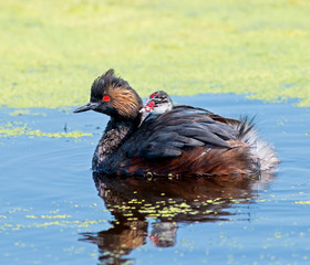 Eared Grebe and chick