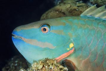 Caribbean Sea, Belize, tropical parrot fish