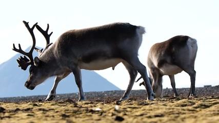 Reindeers in the Arctic - Spitsbergen, Svalbard