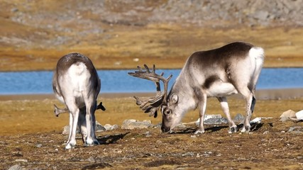 Wild reindeers in summer Arctic tundra