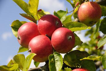 Äpfel im Quadrat