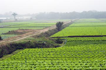 Horticultura de alface