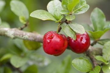 Acerola, uma das frutas mais ricas em Vitamina C