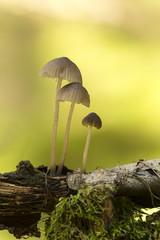 Mycena mushrooms growing on wood