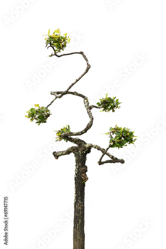 Aluminium Bonsai Dwarf tree isolated on white background