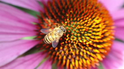 Honey bee extracts nectar from a daisy flower