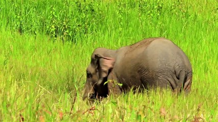 Asian or Asiatic elephant (Elephas maximus) eating Salt licks