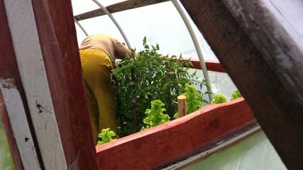 gardener prune overgrown tomato branch ir glasshouse
