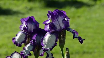 Closeup of dewy multicolor iris flower move in wind