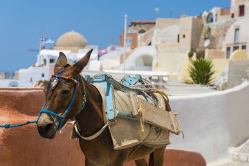 Donkey in Santorini, Greece