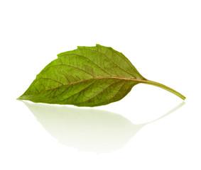fresh basil leaf with reflection on isolated white background