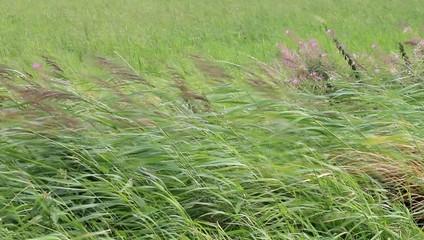 Gräser bewegen sich bei starkem Wind