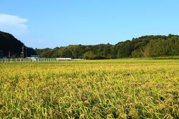 田んぼの稲 農村の風景